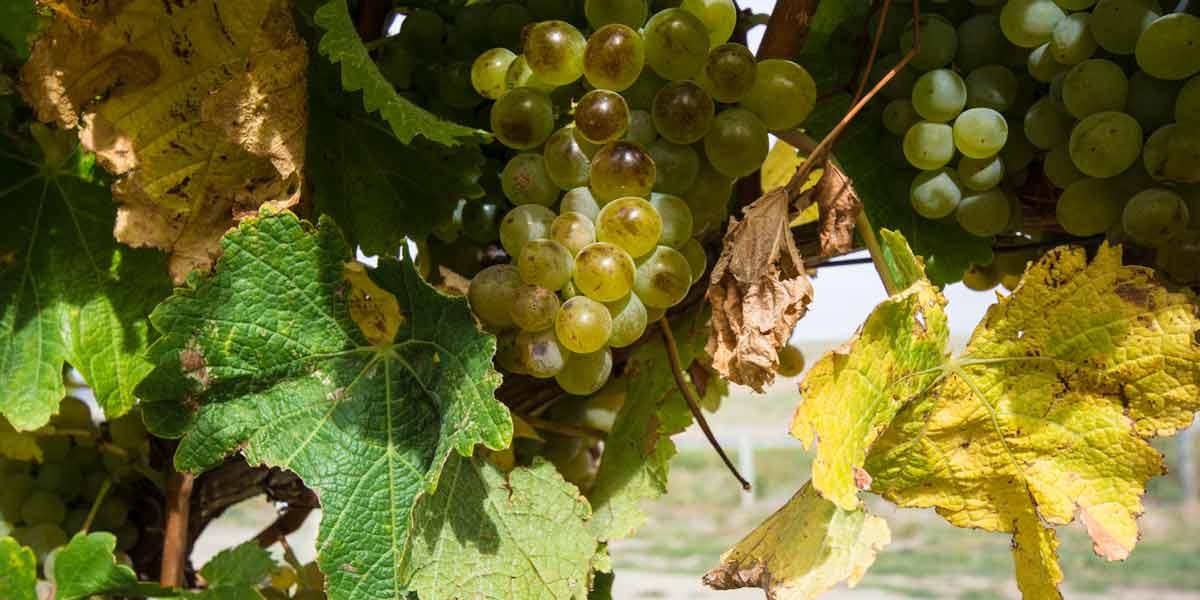 Wine in Germany