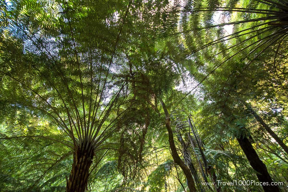 AH Reed Kauri Park Canopy Walkway -- Whangarei, Northland, New Zealand North Island