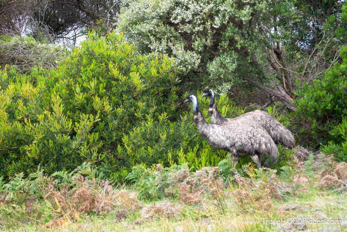 Emu in Wilson Promontory National Park, Victoria, Australia