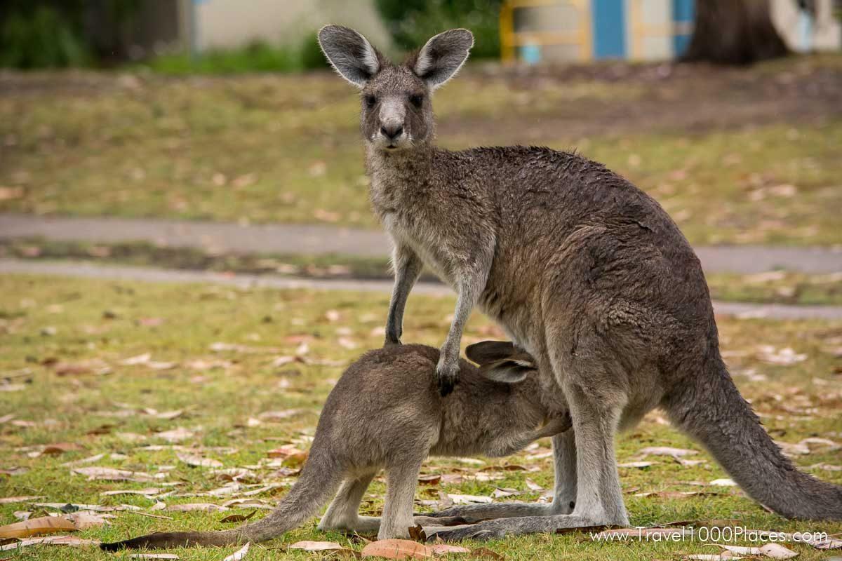 Kangaroos in and around Merimbula (Merimbula, NSW, Australia)