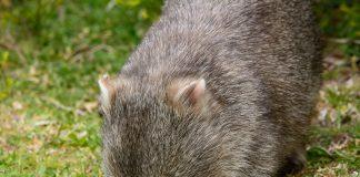 Wombat in Wilson Promontory National Park, Victoria, Australia