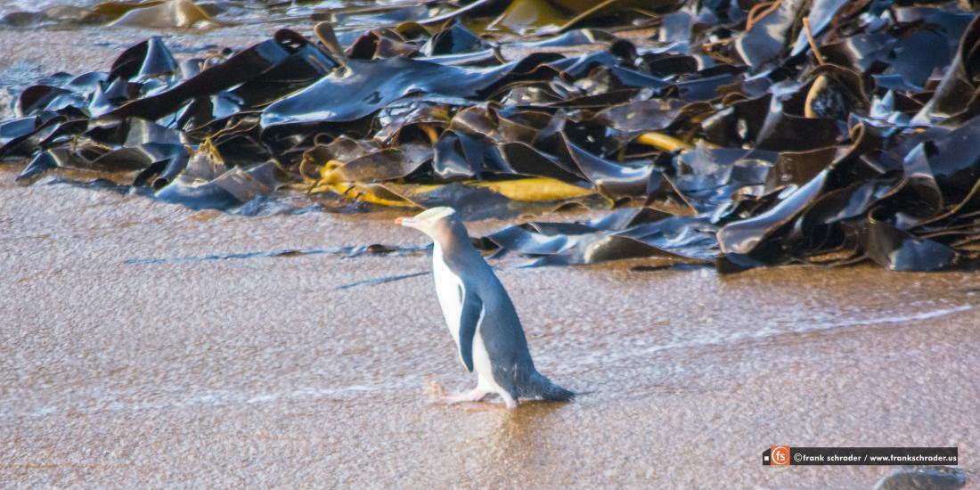 Yellow-Eyed Penguin (photo courtesy of www.frankschrader.us)