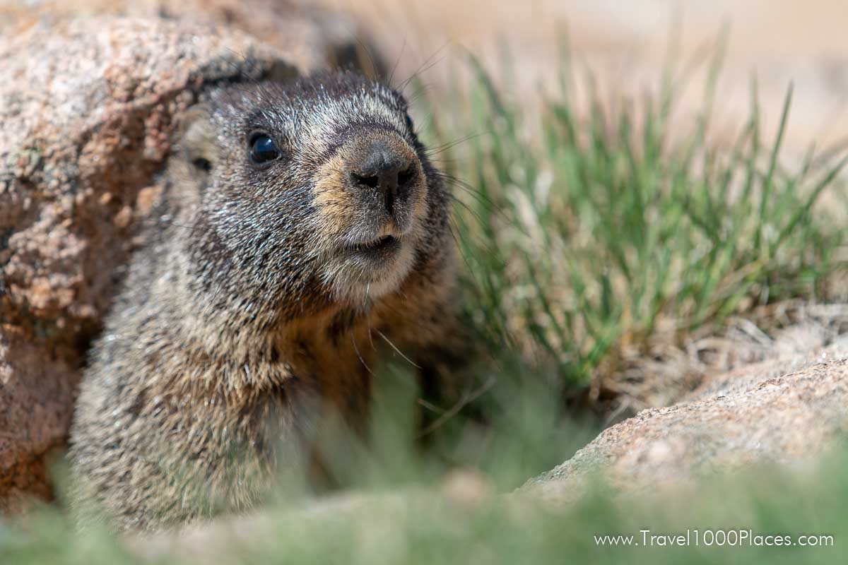 A marmot coming out of its den