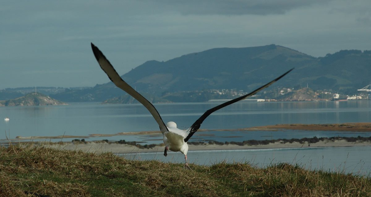 Albatross, Otago, New Zealand (photo: Tourism Dunedin)