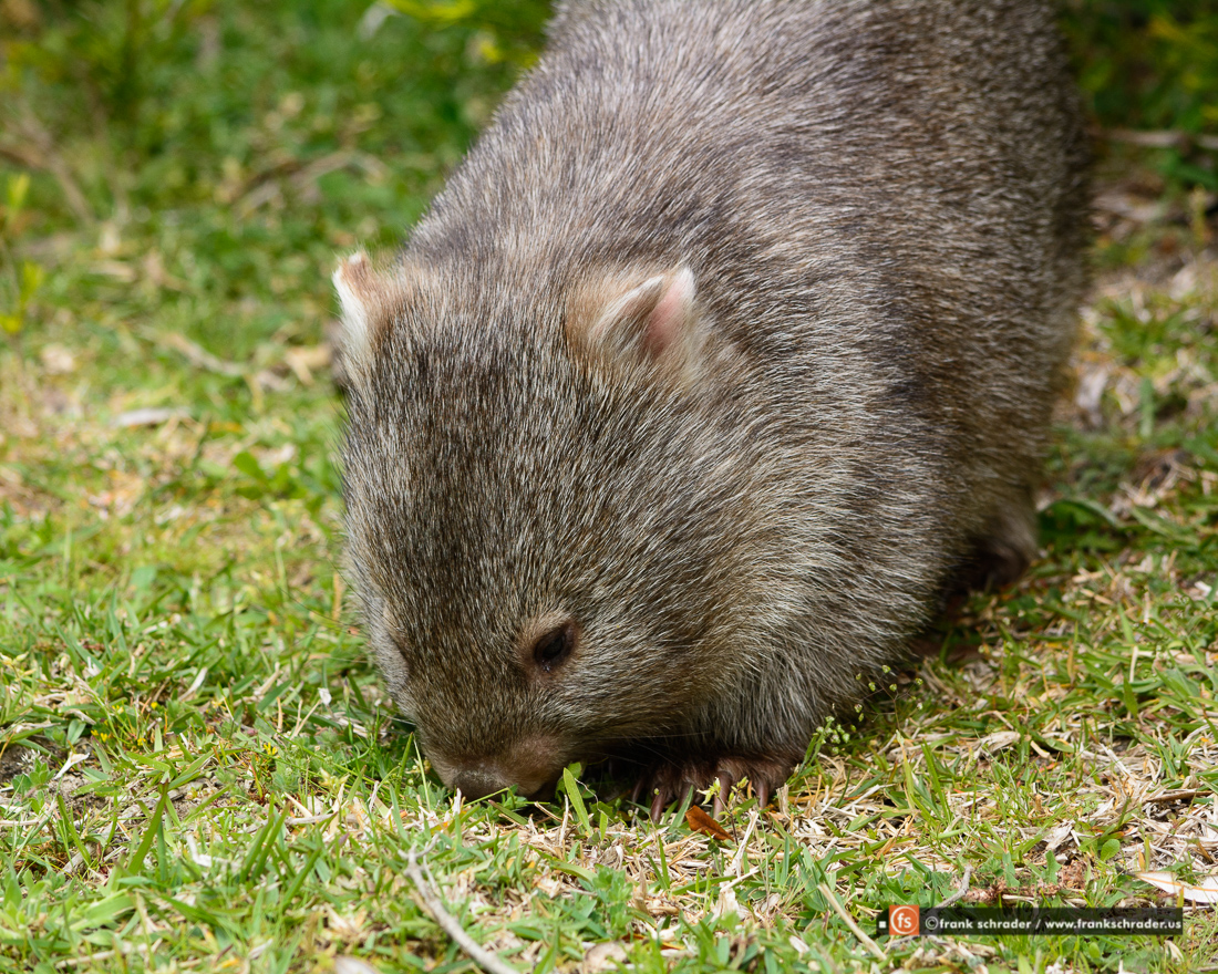 Wombat in Wilson Promontory National Park, Victoria, Australia