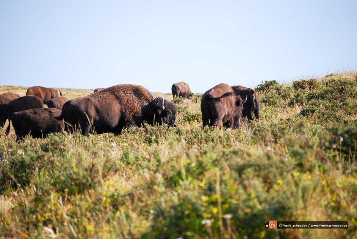 Bison Herd [photo: frankschrader.us - all rights reserved]